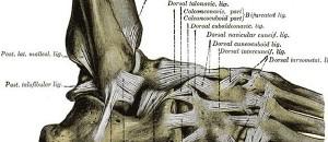 Die Anatomie des Sprunggelenks