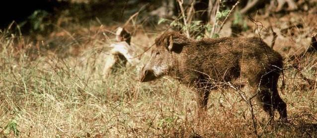 Sus Scrofa noch am Leben - das Wildschwein